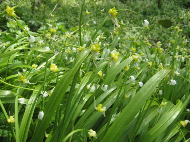 Few-flowered leek (Allium paradoxum), growing near the Water of Leith in Stockbridge, Edinburgh.