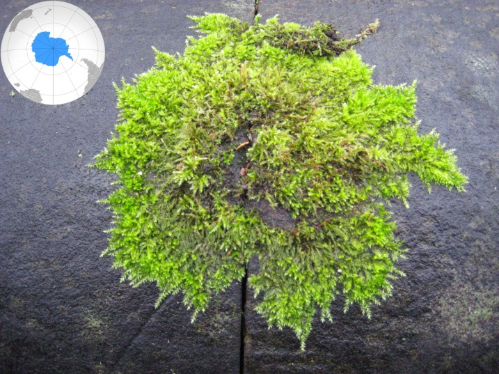Antarctica moss: global issues